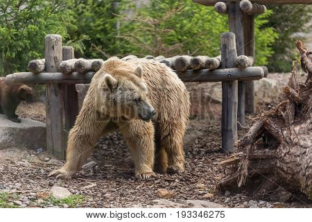 Male Brown Grizzly Bear Turning Back Towards A Dead Tree In Front Of A Wooden Deck Shade And A Wolve