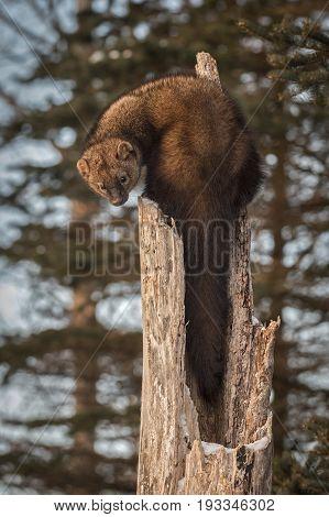 Fisher (Martes pennanti) Looks at Activity Below Tree - captive animal