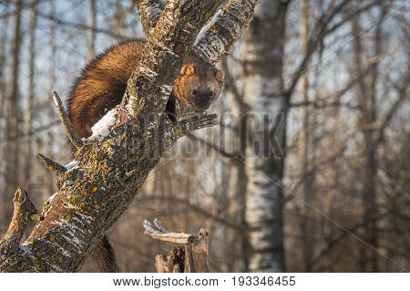 Fisher (Martes pennanti) Peers Out Under Branch - captive animal