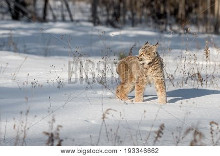 Canadian Lynx (Lynx canadensis) Stands Looking Left - captive animal