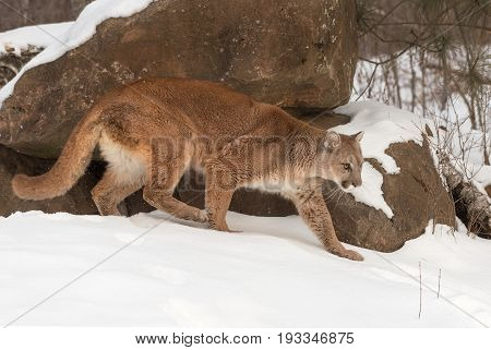 Adult Female Cougar (Puma concolor) Walks Right in Snow - captive animal