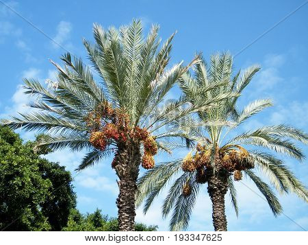 Tops of palm in Volovelski-Karni Garden in Tel Aviv Israel