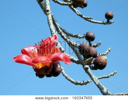 Big flower of Bombax ceiba tree in Begin Park in Tel Aviv Israel