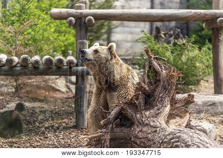 Male Brown Grizzly Bear Posing Behind A Big Tree Root Out Of The Earth With The Back Of A Wolverine