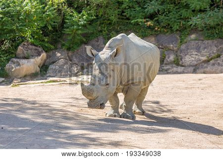 White Rhinoceros Or Square-lipped Rhinoceros (ceratotherium Simum) With Stones And Trees On The Back