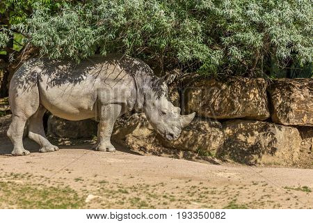 White Rhinoceros Or Square-lipped Rhinoceros (ceratotherium Simum) Under Some Bushes With A Stone Wa