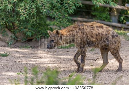 Hyena Walking On Ground Floor With Bushes On The Background