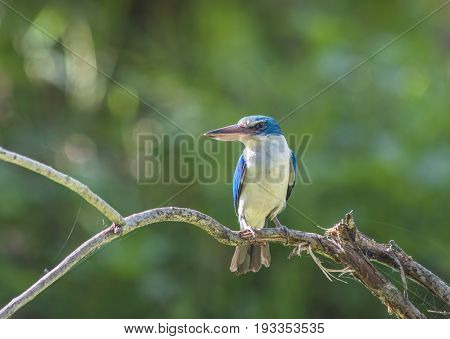 Blue and white Kingfisher Collared kingfisher (Todiramphus sanctus) perching on a branch.