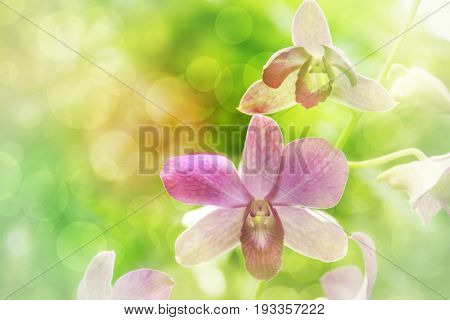 Blurred dream image of pastel purple Dendrobium orchid flower sweet soft focus with spring bokeh background.