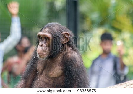 Close up face of a baby chimpanzee