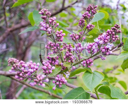 A lilac branch with green leaves.Pale lilac flowers of the lilac branches with green leaves with blurred background. Green branch with spring lilac flowers.