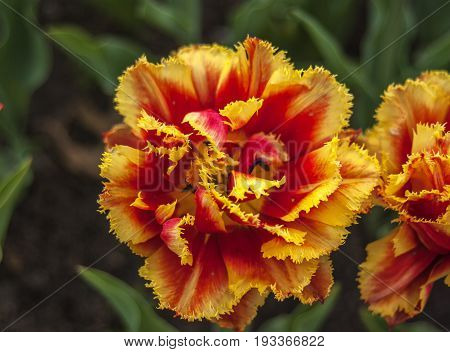 beautiful red and yellow fringed tulips at the Pella Iowa Tulip Festival