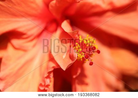 Abstract of flower petal and long stamens with pollen inside orange hibiscus by macro lens.