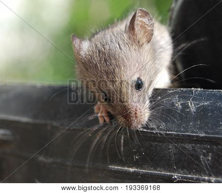 Mouse gray alive, sitting on a keg