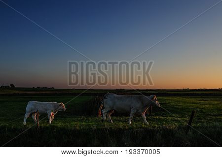 Cows grazing at the mudflats near the Waddenzee in the north of the Dutch Province of Friesland. This area is also known as it Noarderleech.