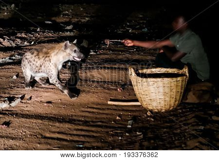 Feeding of spotted hyenas - 11-01-2016 Harar Ethiopia