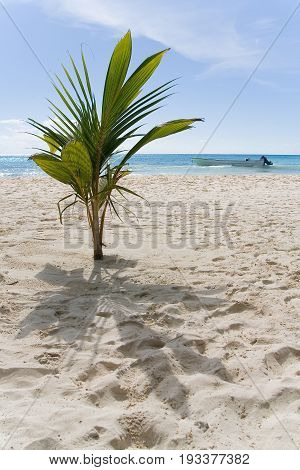 The exotic plant grows on the sandy shore. In the background there is a sea and a motor boat. The coast of the island of Haiti. The Dominican Republic.
