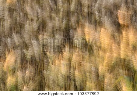 Golden wheat grain moved by the wind