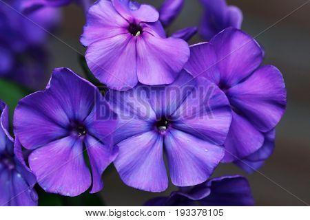 Phlox paniculata Blue Paradise flowers close up