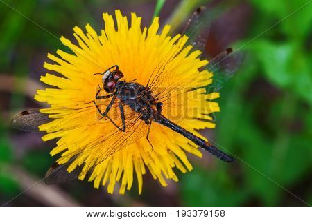 Summer landscape. Insect dragonfly sat on yellow dandelion flower