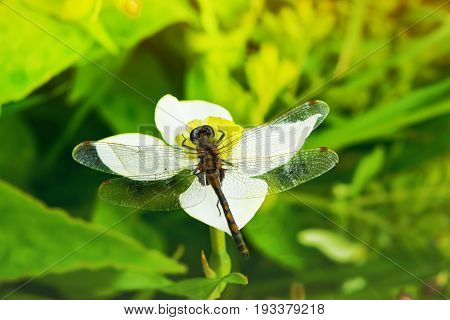 Summer landscape. Insect dragonfly sat on a white Narcissus flower on a grass background in sunlight