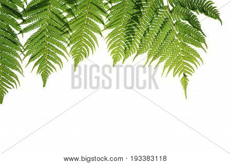 Fern branches hanging down. isolated on white background. This has clipping path.