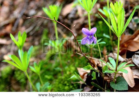 Viola typically have heart-shaped, scalloped leaves, though a number have palmate leaves or other shapes