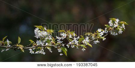 Single flowering Plum (Prunus domestica) branch in spring against blurry dark background, Poland, Europe