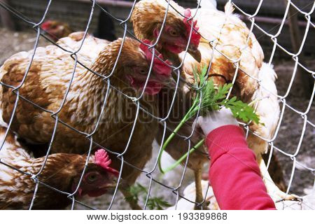 Very Little 1-2 Year Old Child Hand Feeding Chickens Fresh Grass. Caring For Animals.