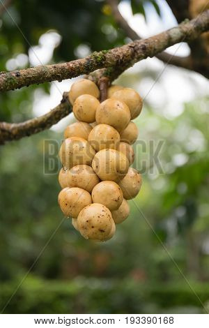 Wollongong fruit on the tree in garden