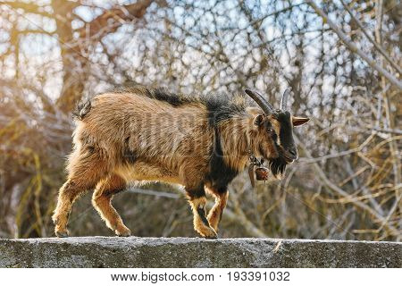Image of the Goat Walking by the Parapet Wall