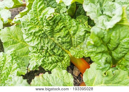 Rhubarb Growing In Spring Garden With Vibrant Green Leaves And Red Stalks Peeking Through