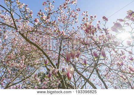 Beautiful Spring Magnolias Flowering On Tree Seen From Underneath, Sun Shining Through Branches