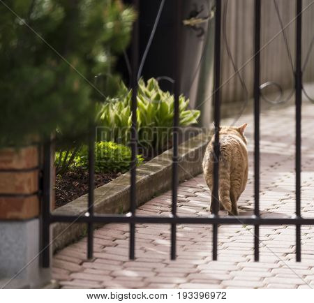 Fluffy Outdoor Cat Walking Along Cobblestone Path Beside House Garden