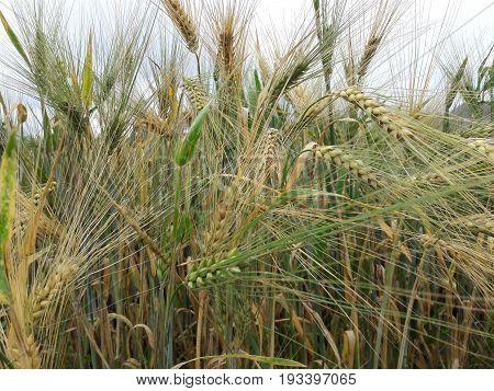 Barley in June is still green Heavy non-ripe green ears of barley Green golden background