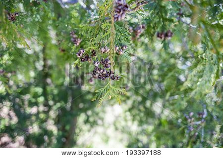 Closeup of fresh green sprigs of northern cedar and seed pods springtime background
