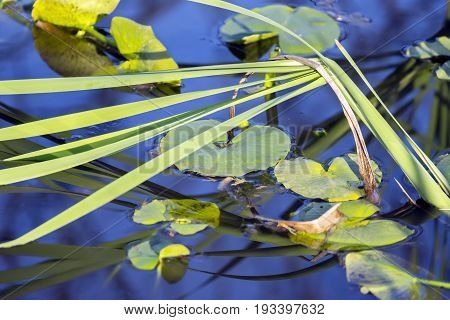 Closeup Of Lily Pads Floating In Deep Blue Water, Ornamental Grasses