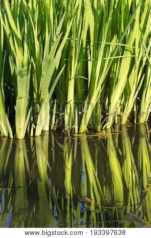 Long Vibrant Green Ornamental Grasses Standing In And Reflecting In Still Blue Water