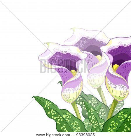 Calla Picasso A Flower Purple. Vector Illustration
