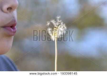 Closeup of boy gently blowing the seeds off of a white dandelion soft background