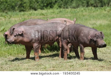 Duroc breed pigs at animal farm on pasture