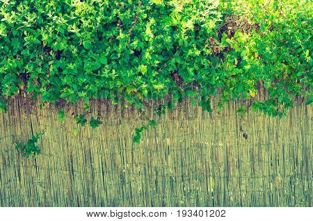 Beautiful background bulrush fence with green liana plant grew on it.