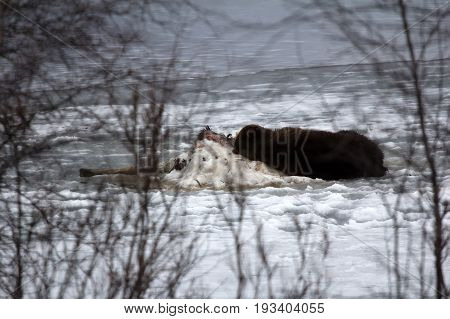 Brown Bear Sleeping On Carcass Of Killed Elk