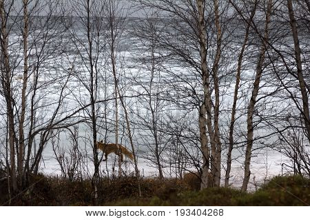 Fox Is On Border Of Lake And Forest In Search Of Food.