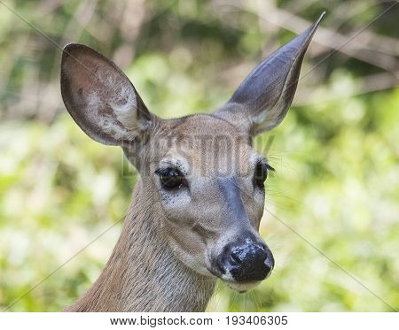 Whitetail Doe Standing For Close Up Portrait