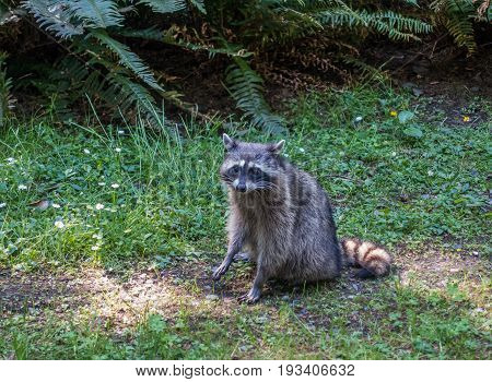 A view of a raccoon on the side of the road at Point Defiance Park in Tacoma Washington.