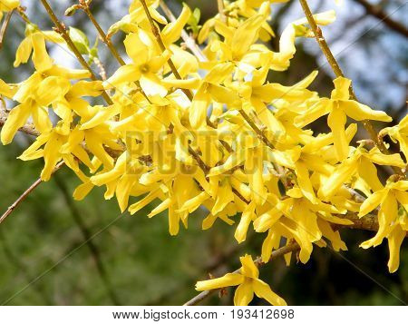 The Forsythia Blossom in Mclean in Virginia near Washington