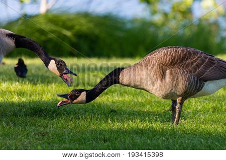 Pair of Canada goose (branta, canadensis) with their tongues out in a Wisconsin field during the month of May