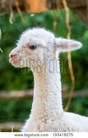 In the animal garden this beautiful young lama runs