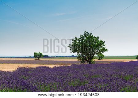 Lavender field and tree with summer blue sky, France, retro toned